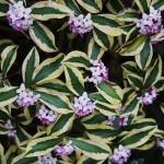 floral daphne odora maejima
