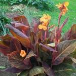 floral Tropicana plant