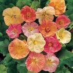 floral abutilon summer sherbert mix