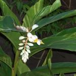 floral alpina zerumbet variegata