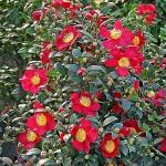 floral camellia yuletide