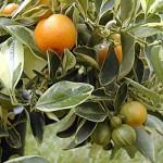 floral citrus calamondin variegated
