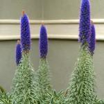 floral echium
