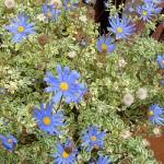 floral felicia