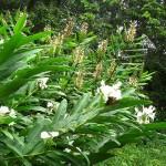 floral hedychium coronarium