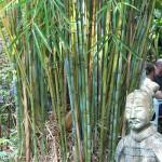 garden himalayacalmus hookerianus