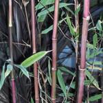 garden himalaycalmus falconi damparra