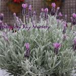 floral lavandula stoechas silver anouk