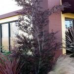 floral leptospermum dark shadows