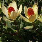 floral leucadendron discolor pompon