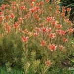 floral leucadendron jester
