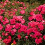 floral rosa flower carpet pink supreme