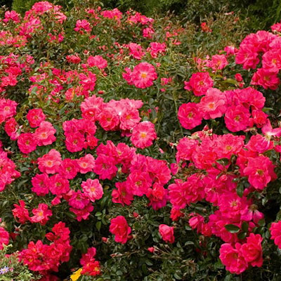 Plant superstars landscape design the avant gardener floral rosa flower carpet pink supreme mightylinksfo