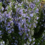 plant rosmarinus officinalis benenden blue
