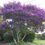 plant tibouchina-urvillinea
